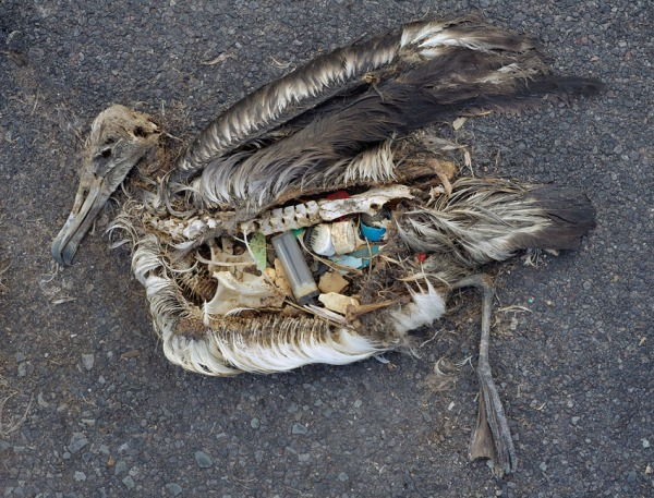 An albatross that died of hunger with a stomach full of plastic. Photo: Chris Jordan.