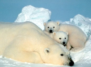 Polar bears are among the large animals that depend on the Arctic ice sheet.  Image: US Fish and Wildlife Service.