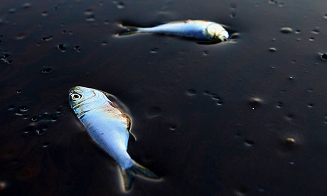 Dead fish stuck in oil after the 2010 BP oil spill in the Gulf of Mexico.  Photo: The Guardian.